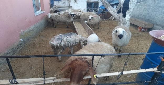 Ankara jandarması çalınan hayvanları Kuluda buldu
