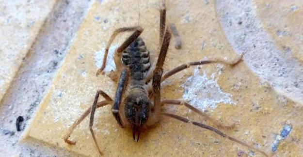 Kulu'da görülen et yiyen örümcek ! Zehri insanı öldürüyor