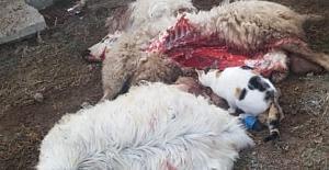 Celep Mahallesinde aç kalan kurt sürüyü telef etti